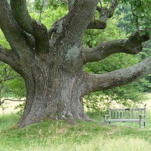 CHOROBA STROMOV: Rezistentné stromy vzdorujú moru jaseňov